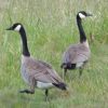 Thumbnail image for Our Visiting Wild Geese