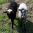 Thumbnail image for New pictures of our 2011 lambs