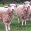 Thumbnail image for Leicester Longwool Sheep