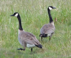 Our visiting Canada geese