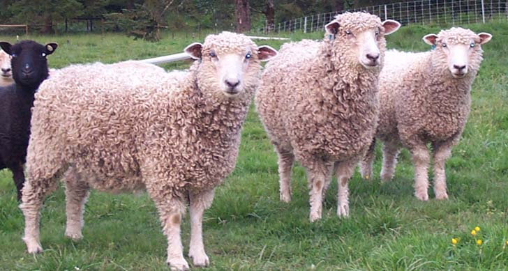 Leicester Longwool yearling ewes