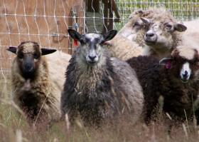 Shetland cross ewe lamb