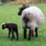 Thumbnail image for First Purebred Churro lamb of 2012